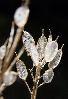 Honesty/ Money Plant Seed pods by addartiste, via Flickr