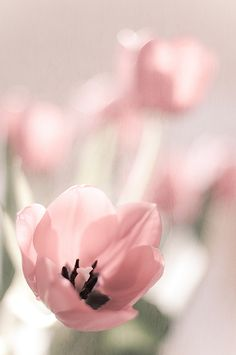 28 Ideas Flowers Photography Tulips Pink For 2019 Pink Tulips, Pink Flowers, Pretty In Pink, Beautiful Flowers, Bokeh Photography, Photography Flowers, Pink Garden, Ethereal Beauty, Fuchsia