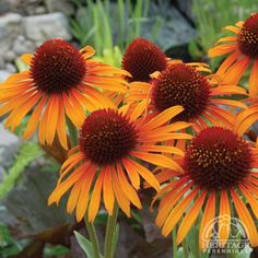 *Echinacea 'Flame Thrower' has bright bicolor petals of orange and yellow. Fragrant and vigorous plants.