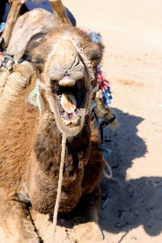 Camel on the beach of Essaouira, Morocco