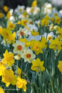 Daffodil Gritty Southern Daff Blend ™ | Daffs for the South Bulbs for Sale | COLORBLENDS