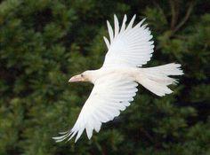 写真:空を飛ぶ白いカラス=18日午後4時14分、島根県大田市大屋町鬼村、野室庸司さん撮影