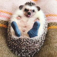 An Adorable Little Hedgehog Shows Off His New Blue Knit Socks While Getting His Tummy Rubbed