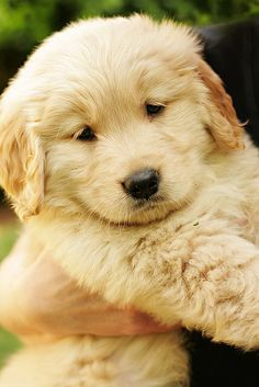 Aren't Golden Retriever puppies the cutest?