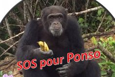 PLEASE SHARE & DONATE IF YOU CAN ~ SOS Ponso the lone chimp abandoned by New York Blood Center after using him for years