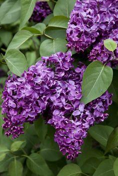 Frühjahrsblumen Fliederbusch - so duftet der Frühling