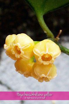 Hoya heuschkeliana yellow