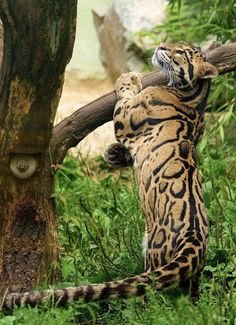 Clouded leopard (Neofelis nebulosa) by PhotoDragonBird on DeviantArt Big Cats, Cool Cats, Beautiful Cats, Animals Beautiful, Animals And Pets, Cute Animals, Clouded Leopard, Exotic Cats, Animals Amazing