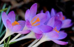 Purple Crocuses Of Vienna by Eva Komenda