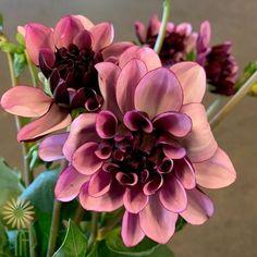 Creme de Cassis Dahlias | Wholesale Flowers & DIY Wedding Flowers Purple Carnations, Plum Flowers, Seasonal Flowers, Exotic Flowers, Colorful Flowers, Dahlias, Dahlia Flowers, Lavender Bouquet, Lavender Roses