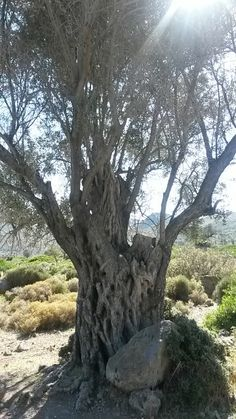 Ancient olive Aegina Greece