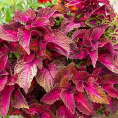 Coleus Mainstreet Sunset Boulevard™ | White Flower Farm