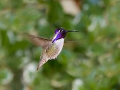 Does the camera ever lie? Perhaps, but in this case it is not intentional. The Costa's Hummingbird is tiny and grows to only three inches in length.