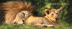ZOO | ZOO Plzeň Lion, Animals, Leo, Animales, Animaux, Lions, Animal, Animais