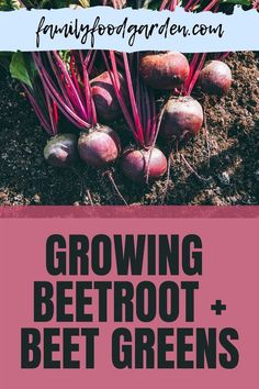 Beets are a whole food. Not only is the root edible, so are the beet roots. Family Food & Garden covers not only red beets, there are a few other colors of this root vegetable They are just as nutritious as well. Our guide will take you every step of the way in showing you how to grow the different varieties that are available to you. While the stores typically sell the red beets, now you have a greater selection to choose. Read more… #growingbeetsplants #growingbeetroot #growing beetgreens Red Beets, Healthy Fruits And Vegetables, Root Vegetables, Beet Plant, Beetroot, Family Meals, Gardening Tips, Whole Food Recipes