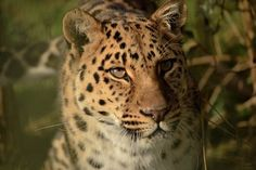 The power of a leopard on the move Photo by Andrew Rundgren — National Geographic Your Shot