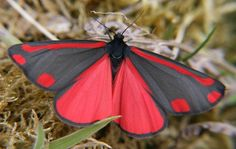 Red and Black butterfly