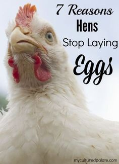 You have chickens and are having to buy eggs? Here are 7 reasons those girls may not be laying! http://myculturedpalate.com