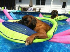The Dog paddle, Boxer style... I WISH I could get cali and cora in the pool. They hate clear water lol