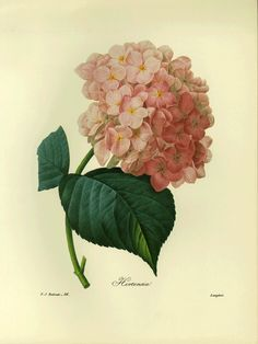 SALE Vintage Botanical Book Plate by Redoute of Hydrangea. $10.00, via Etsy.