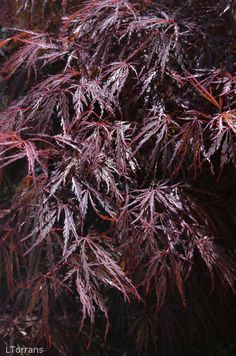 Japanese Maples - Crimson Queen