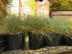 Festuca Glauca Herbs, Plants, Deco, Herb, Plant, Planets, Medicinal Plants