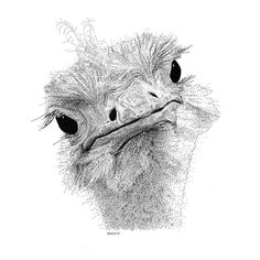 Ostrich Pen and Ink Drawing