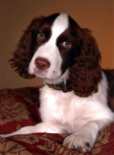 Pictures of English Springer Spaniel Dog Breed Springer Spaniel Puppies, English Springer Spaniel, Spaniel Dog, Spaniel Breeds, Dog Breeds, Little Dogs, Beautiful Dogs, Doge, Dog Love