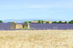 LVC06 - Champ de blé et de lavandes à Valensole - Alpes de Haute Provence 04