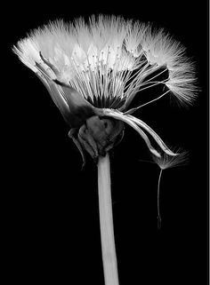 dandelion - this would make a great basis for a tattoo.