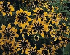 Rudbeckia Solar Eclipse - Long lasting  Perennial