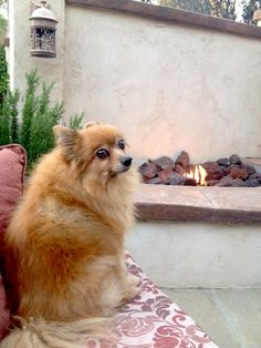 It's a tough life here in San Diego - Lani enjoying the fire! #SanDiego #Pomeranian