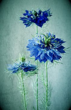 Love In A Mist.