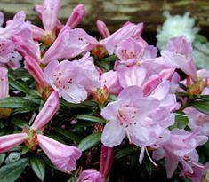 Rhododendron imperator is a mat forming shrub that originates in India, Tibet, and Myanmar.