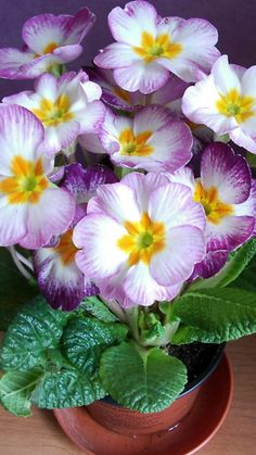 primrose, flower, leaves, pot, indoor
