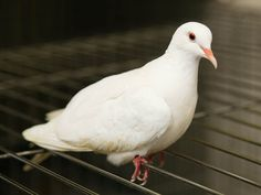 Lovely dove Ariel (ID: A385399) is looking for a home. She came to the shelter as a stray and is now available for adoption. She is sweet and a bit shy but just lovely.
