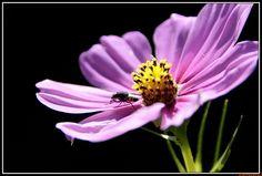 flores-85