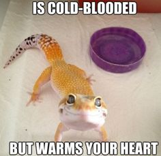 leopard gecko funny