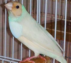 Gouldian finch variety - Google Search
