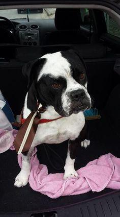 Esse é Noob. Bulldog Campeiro.