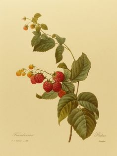 Vintage Red Raspberry, Redoute Berry Botanical (Book Plate No. 40). $5.00, via Etsy.