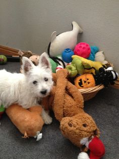 Westie, Zoey I get pick of the toy basket.