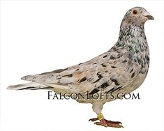 High Flying Pigeons, Pigeons For Sale, Pigeon Pictures, Pigeon Breeds, Homing Pigeons, Pigeon Loft, Loft Design, Bird Feathers, Places To Visit