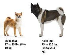 Details of the dog called Toy or Mini Akita. Comparison showing the difference of the Akita VS Shiba Inu. Akita Puppies, Akita Dog, Animals And Pets, Funny Animals, Cute Animals, Japanese Akita, American Akita, Hachiko, Shiba Inu