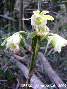 galeandra beyrichii   Galeandra beyrichii Rchb. f.