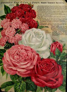 Northrup, King & Co.'s annual offering of sterling seeds 1910 Garden Catalogs, Seed Catalogs, Antique Roses, Vintage Flowers, Vintage Floral, Vintage Postcards, Vintage Images, Vintage Seed Packets, Seed Packaging