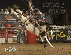 LUNATIC FRINGE - PRCA champion saddle bronc horse -