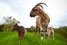 Grazing goats atop Al Johnson's Swedish Restaurant in Door County, Wisconsin