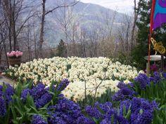 Daffodil Garden, Running Springs, CA  scenicreflections.com