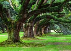 Take A Walk In The Shade Of The 300 Years Old Oaks Of The Grand Dame, Oak Alley Plantation, Louisiana, USA